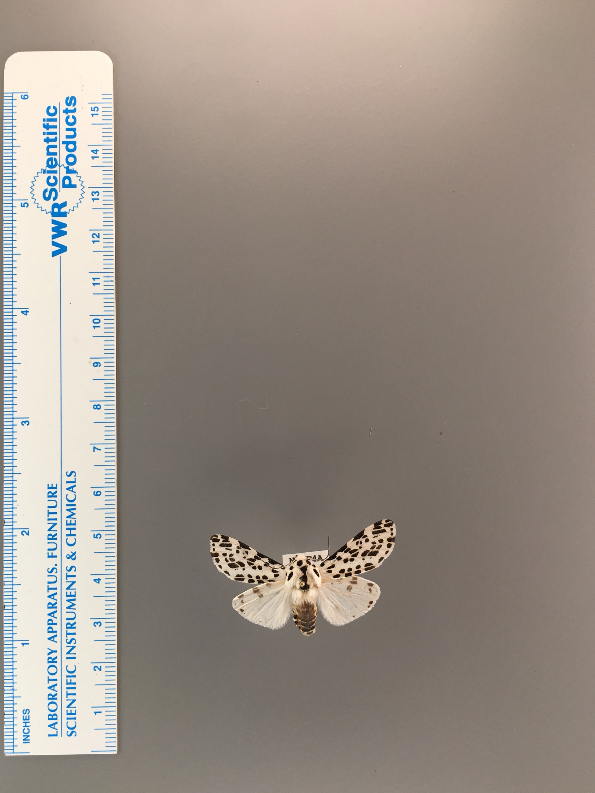 Hypercompe permaculata image