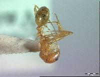 Aphaenogaster boulderensis image