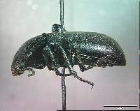 Eleodes orophilus image