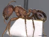 Image of Pogonomyrmex bicolor