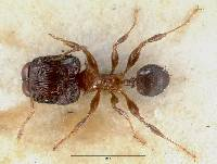 Image of Pheidole striata