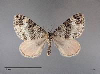 Perizoma custodiata image