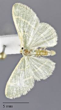 Image of Chlorochlamys triangularis