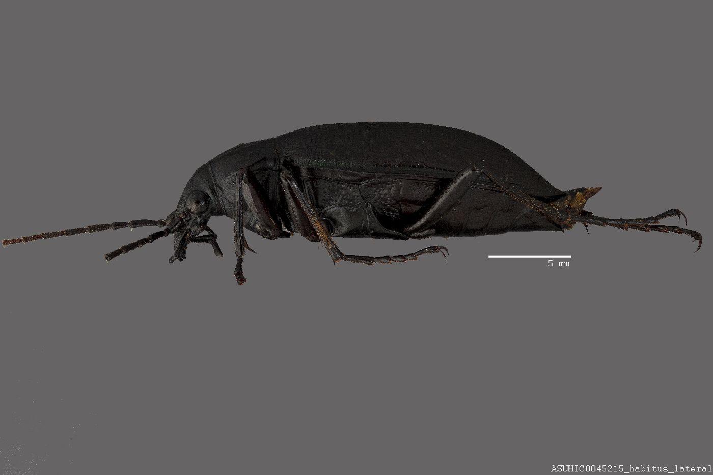 Calosoma image