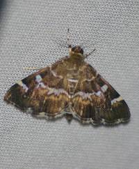 Image of Hymenia perspectalis
