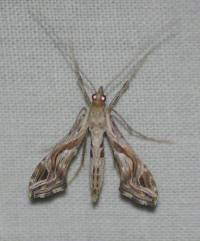 Image of Lineodes integra