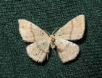 Image of Cyclophora dataria