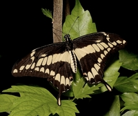 Image of Papilio cresphontes
