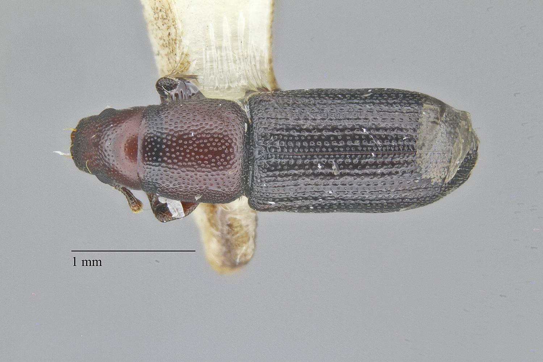 Cossoninae